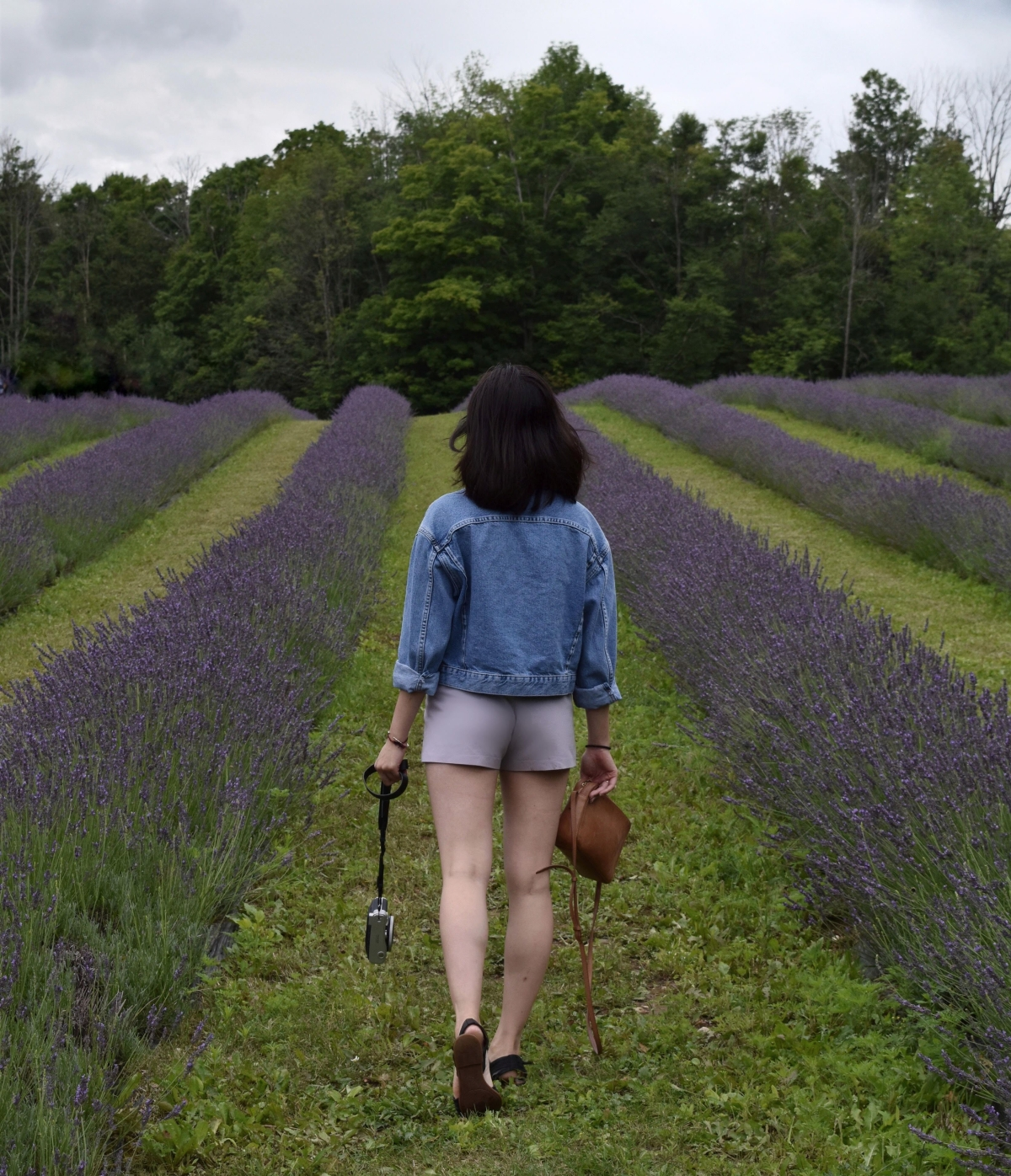 Purple lavender rows at lavender farm in Milton called Terre Bleu