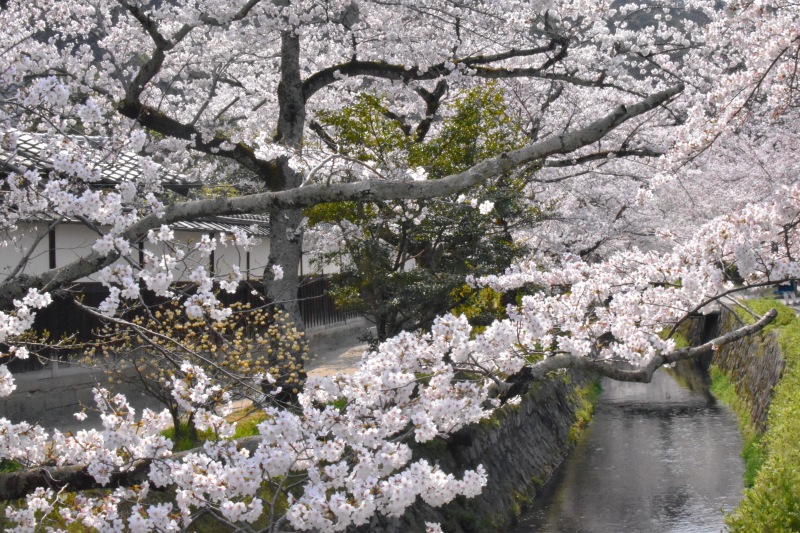 Spring in japan, cherry blossoms at philosopher's walk, kyoto cherry blossoms